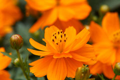 Yellow Cosmos Royalty Free Stock Images
