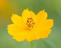 Yellow Cosmos Stock Photo