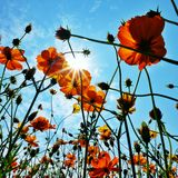 Cosmos flower garden fields sky  Royalty Free Stock Images