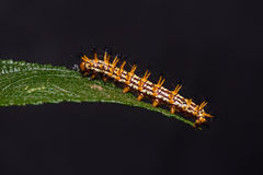 Yellow coster Acraea issoria caterpillar Stock Images