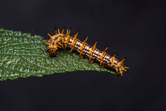 Yellow coster Acraea issoria caterpillar Stock Photos