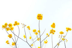 Yellow cotton flowers, Silk Cotton flowers, Tree beautiful in sk Stock Photos