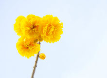 Yellow cotton flowers, Silk Cotton flowers, Tree beautiful in sk Royalty Free Stock Photography