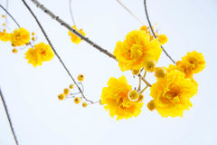Yellow cotton flowers, Silk Cotton flowers, Tree beautiful in sk Royalty Free Stock Images