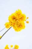 Yellow cotton flowers, Silk Cotton flowers, Tree beautiful in sk Stock Photography