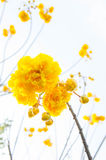 Yellow cotton flowers, Silk Cotton flowers, Tree beautiful in sk Royalty Free Stock Photos
