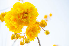 Yellow cotton flowers, Silk Cotton flowers, Tree beautiful in sk Stock Images