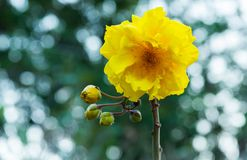 Yellow cotton, Silk Cotton Tree scientific name: Cochlospermum religiosum is blooming in nature. With bokeh background stock photos
