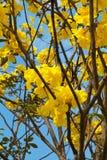 Yellow cotton tree stock photos