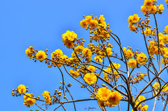 Yellow cotton tree against Stock Photo