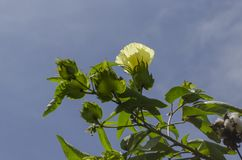 Yellow Cotton Tree Blossom On Blue Sky Background stock photo