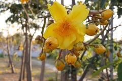 Yellow cotton tree Royalty Free Stock Photo
