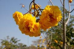 Yellow cotton tree Stock Photography