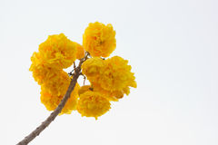 Yellow Cotton Tree. Is flower of Nakhon Nayok province , thailand Royalty Free Stock Images