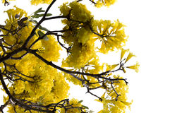 Yellow Cotton Tree from middle America Royalty Free Stock Photo