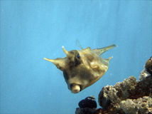 Yellow cowfish. Closeup of yellow cowfish swimming over topical reef in blue sea Stock Photography