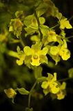 Yellow Cowhorn Orchid Royalty Free Stock Photo