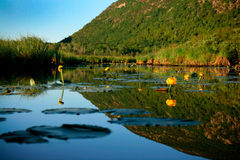 Yellow Cowlily Flowers and Lilypads with Mountain in Background Stock Images