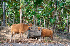 Yellow cows near wooden trough Royalty Free Stock Photography