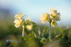 Yellow cowslip in the evening sun Stock Photography