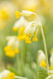 Yellow cowslip or primrose flower Royalty Free Stock Images