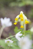 Yellow cowslip or primrose flower Stock Photography