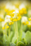 Yellow cowslip or primrose flower Stock Photos