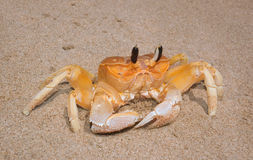 Yellow crab Stock Photography