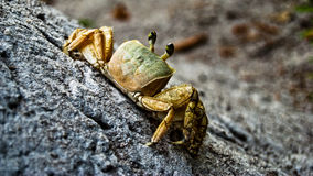 Yellow  Crab Royalty Free Stock Photos