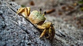 Yellow  Crab Royalty Free Stock Photos
