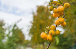 Yellow crab apples at a branch Stock Image