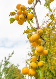 Yellow crab apples at a branch Royalty Free Stock Images