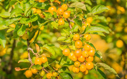 Yellow Crab Apples Royalty Free Stock Photos