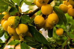 Yellow crab apples on a branch, malus baccata Stock Images