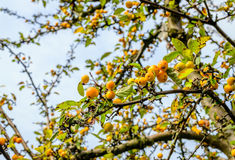 Yellow crab apples in the end of the fall season Royalty Free Stock Images