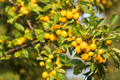 Yellow Crab Apples Stock Images