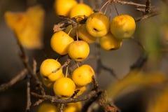 Yellow Crab Apples Golden Hornet Royalty Free Stock Photo