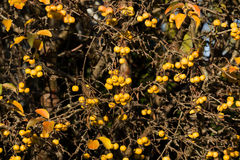 Yellow Crab Apples Golden Hornet Royalty Free Stock Photography