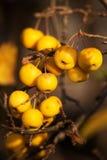 Yellow Crab Apples Golden Hornet Stock Images