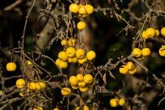 Yellow Crab Apples Golden Hornet Stock Photography