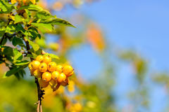 Yellow crab apples on a twig in autumnal sunlight Stock Photos