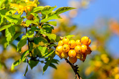 Yellow crab apples on a twig in autumnal sunlight Stock Photo
