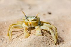 Yellow crab crawling in sand. On a beach on a sunny day Stock Image