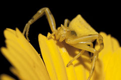 Free Yellow Crab Spider Stock Photos - 16204903