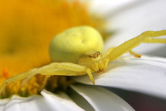 Yellow Crab Spider. A Yellow Crab Spider on a daisey flower awaiting prey with arms outstretched Stock Images