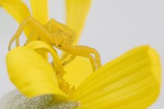 Yellow crab spider on daisy Royalty Free Stock Photography