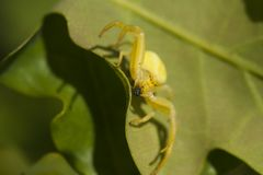 Yellow crab spider Stock Photography