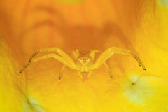 Yellow crab spider in a flower Stock Image