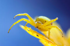 Yellow crab spider on  flower after rain Royalty Free Stock Photos