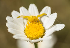Yellow crab spider in hunting pose Royalty Free Stock Image